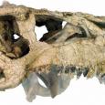 Nowy gatunek opisany na podstawie wspaniale zachowanej czaszki